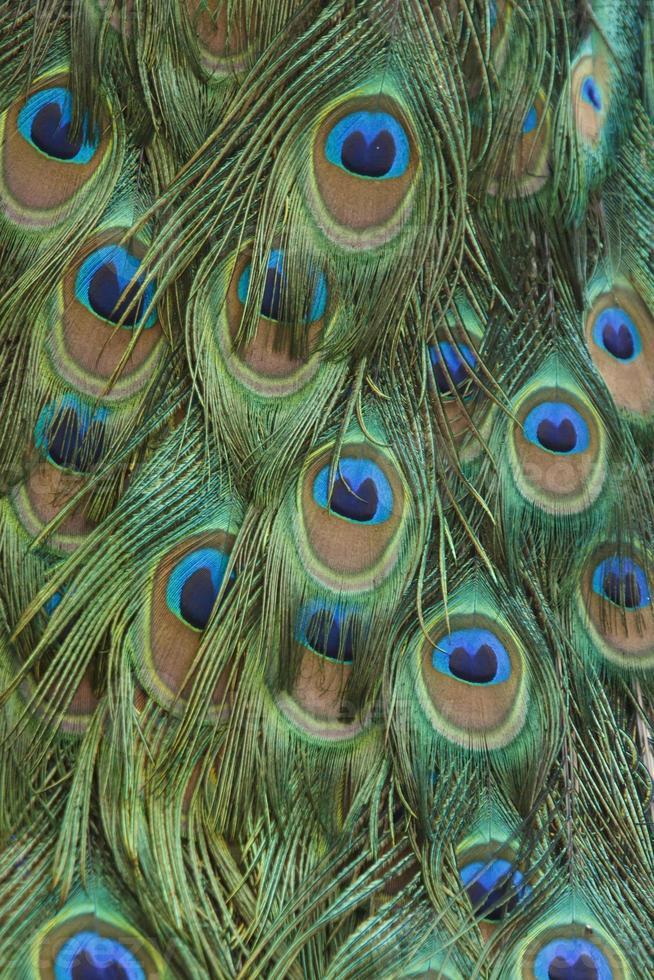 penas de pavão abstrato foto