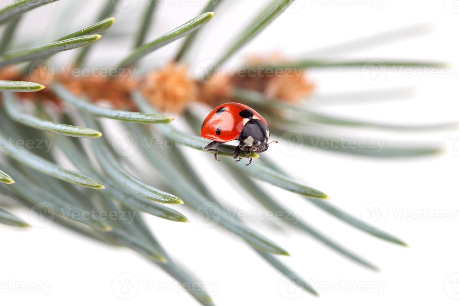 lady bug foto
