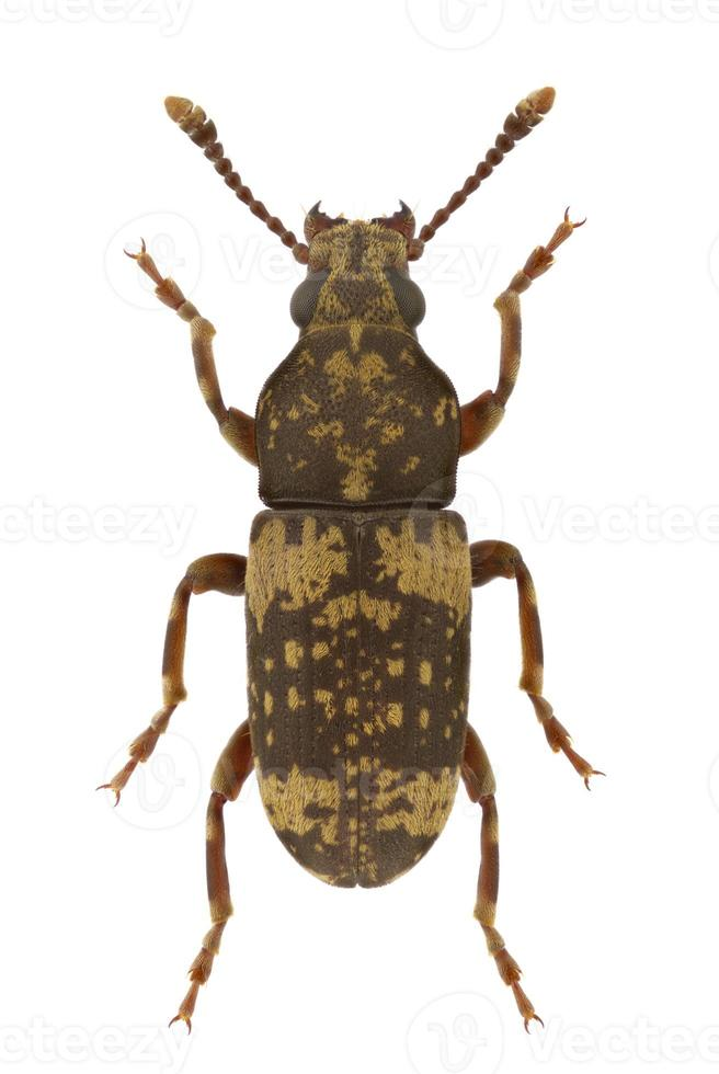 anthribidae basitropis foto