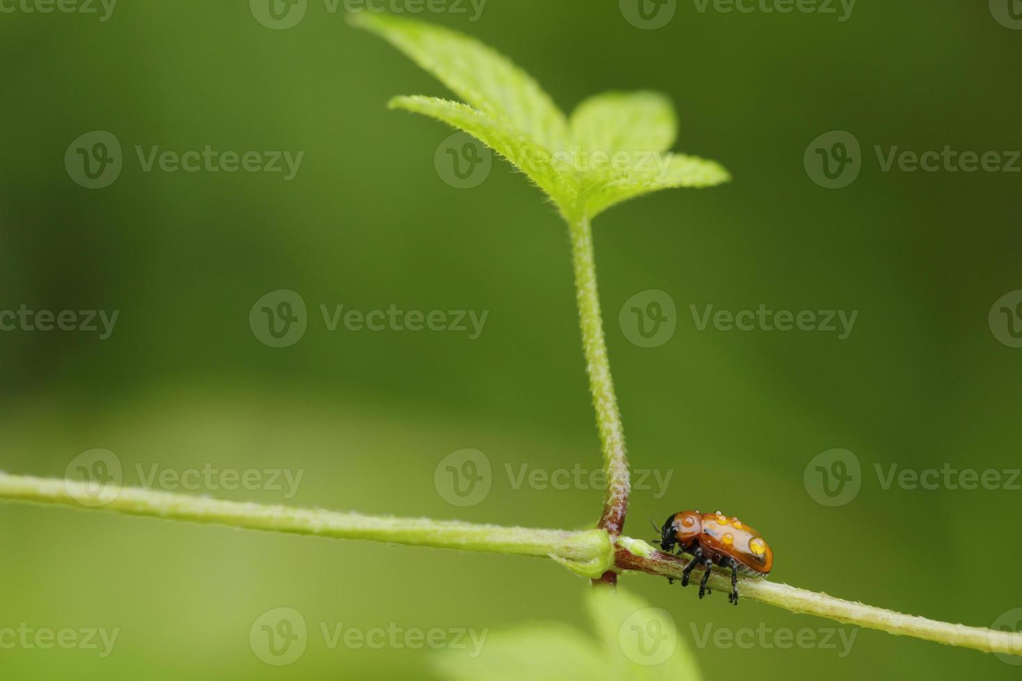 besouros de água foto