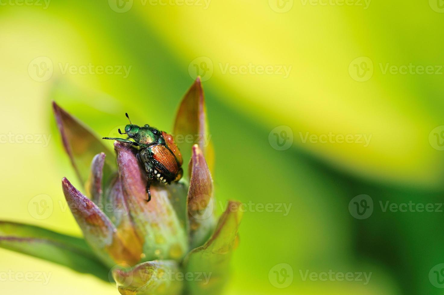 besouro e flor de hosta foto
