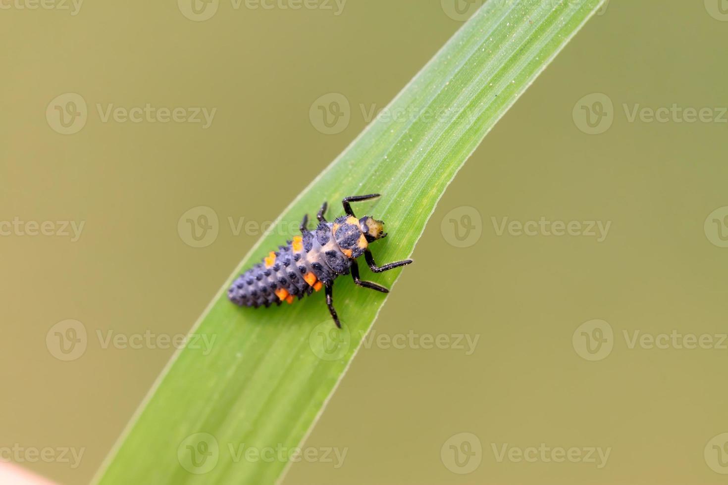 larvas de harmonia axyridis foto