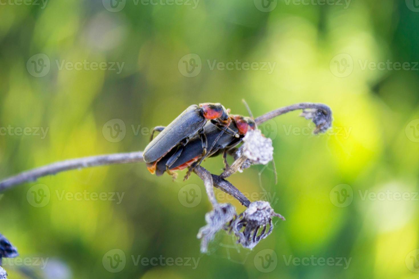 emparelhamento soldado besouro foto