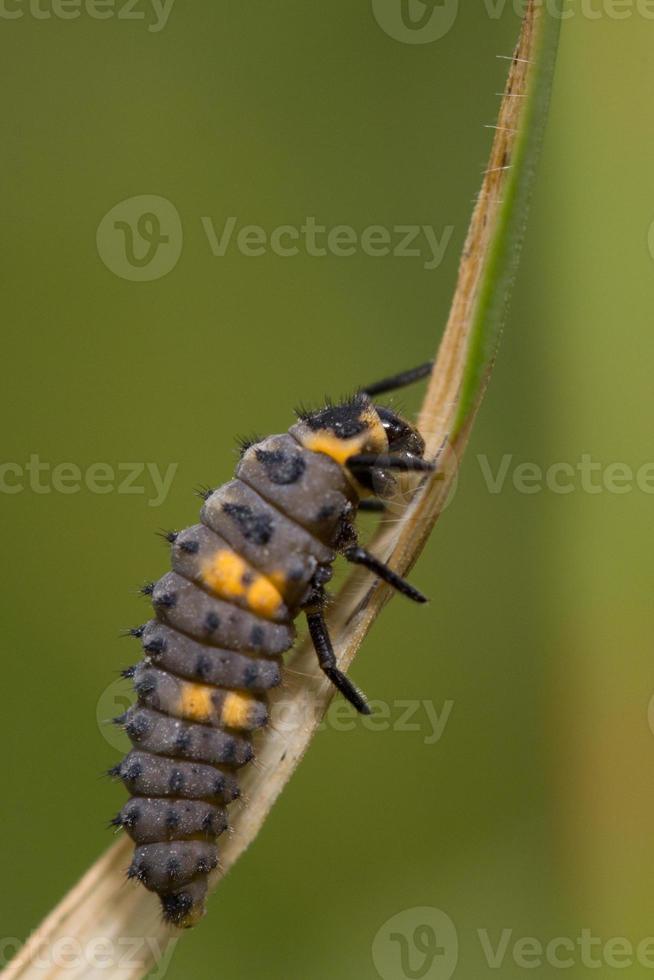 larve des marienkäfers (coccinella septempunctata) foto