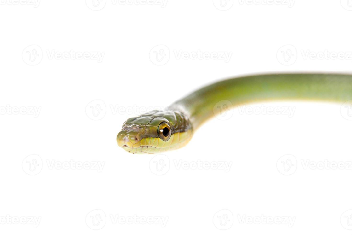 Ratsnake verde de cauda vermelha em fundo branco foto
