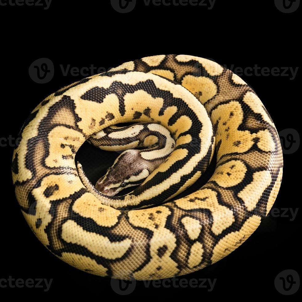 bola python -python regius foto