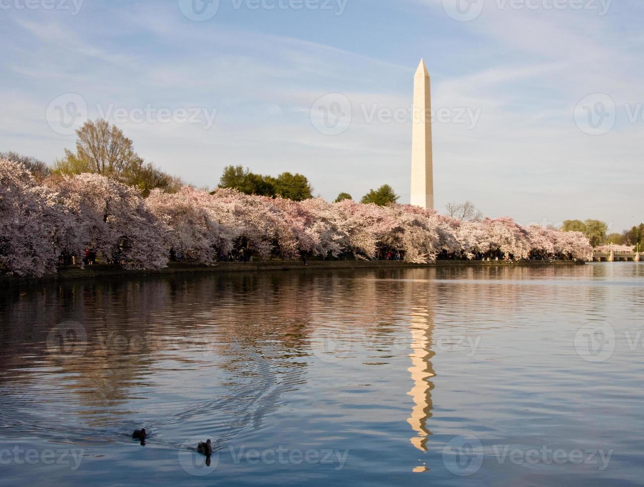 flor de cerejeira e patos foto
