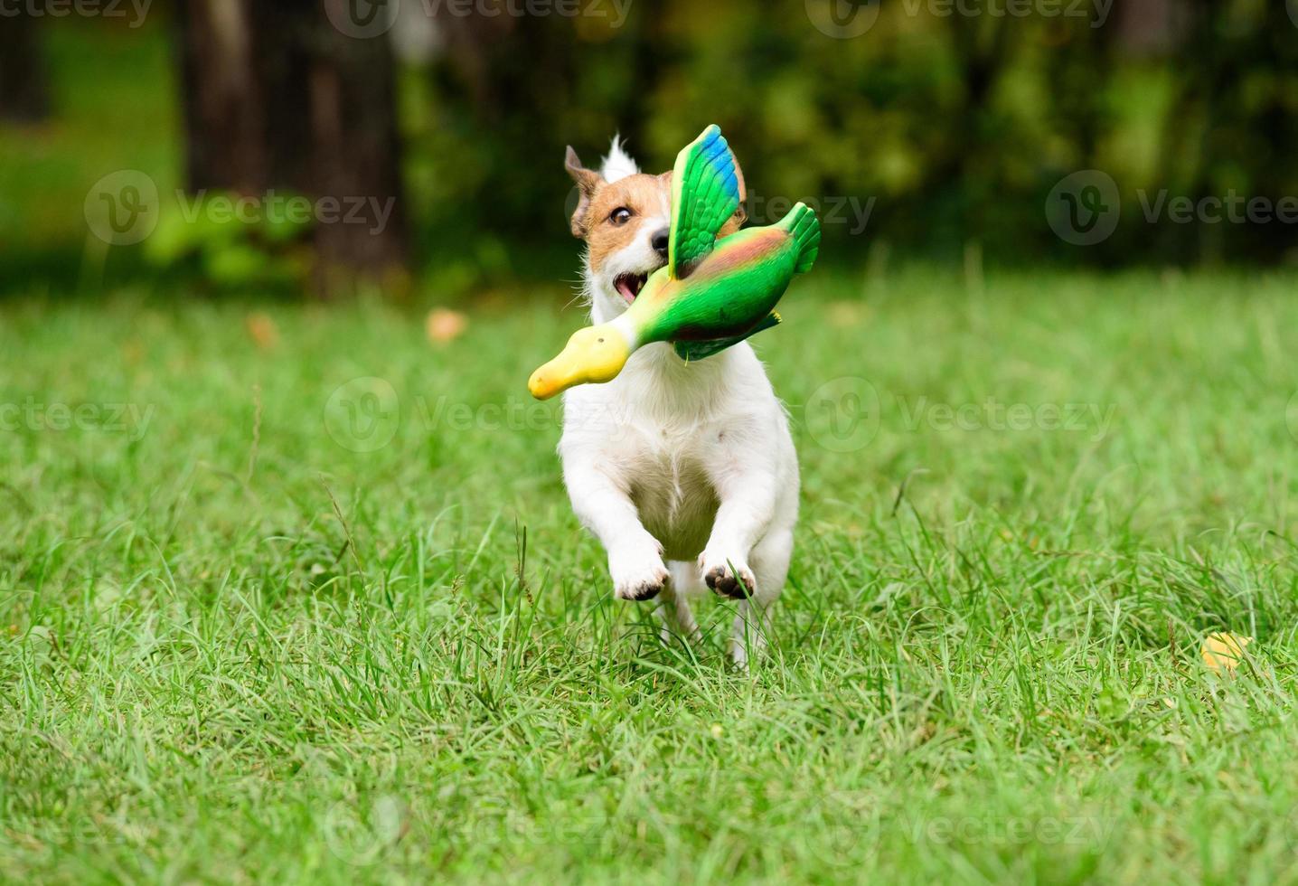 cachorro buscando um pato de brinquedo foto