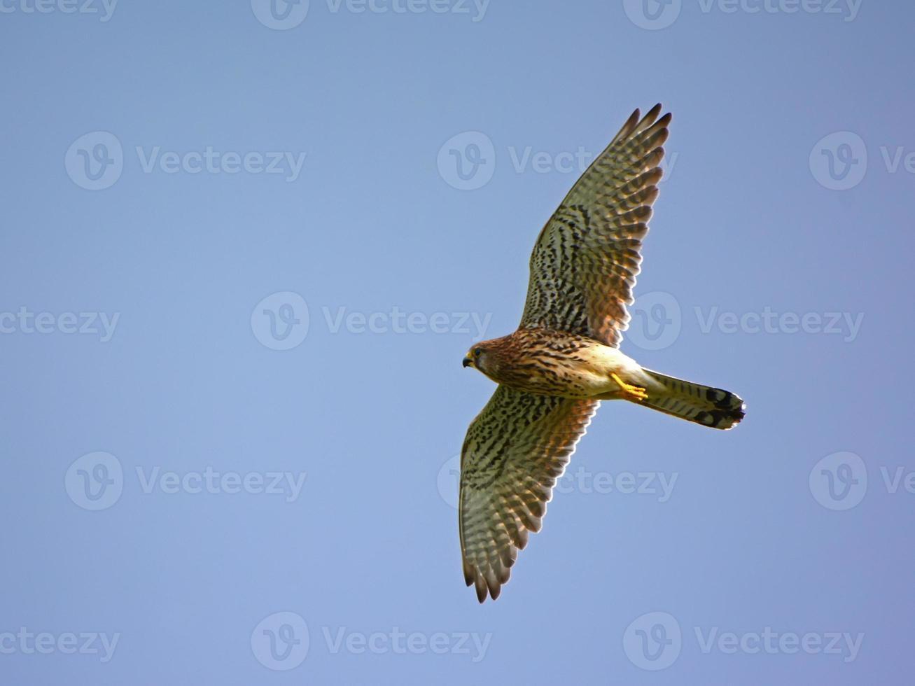 Peneireiro voando acima foto