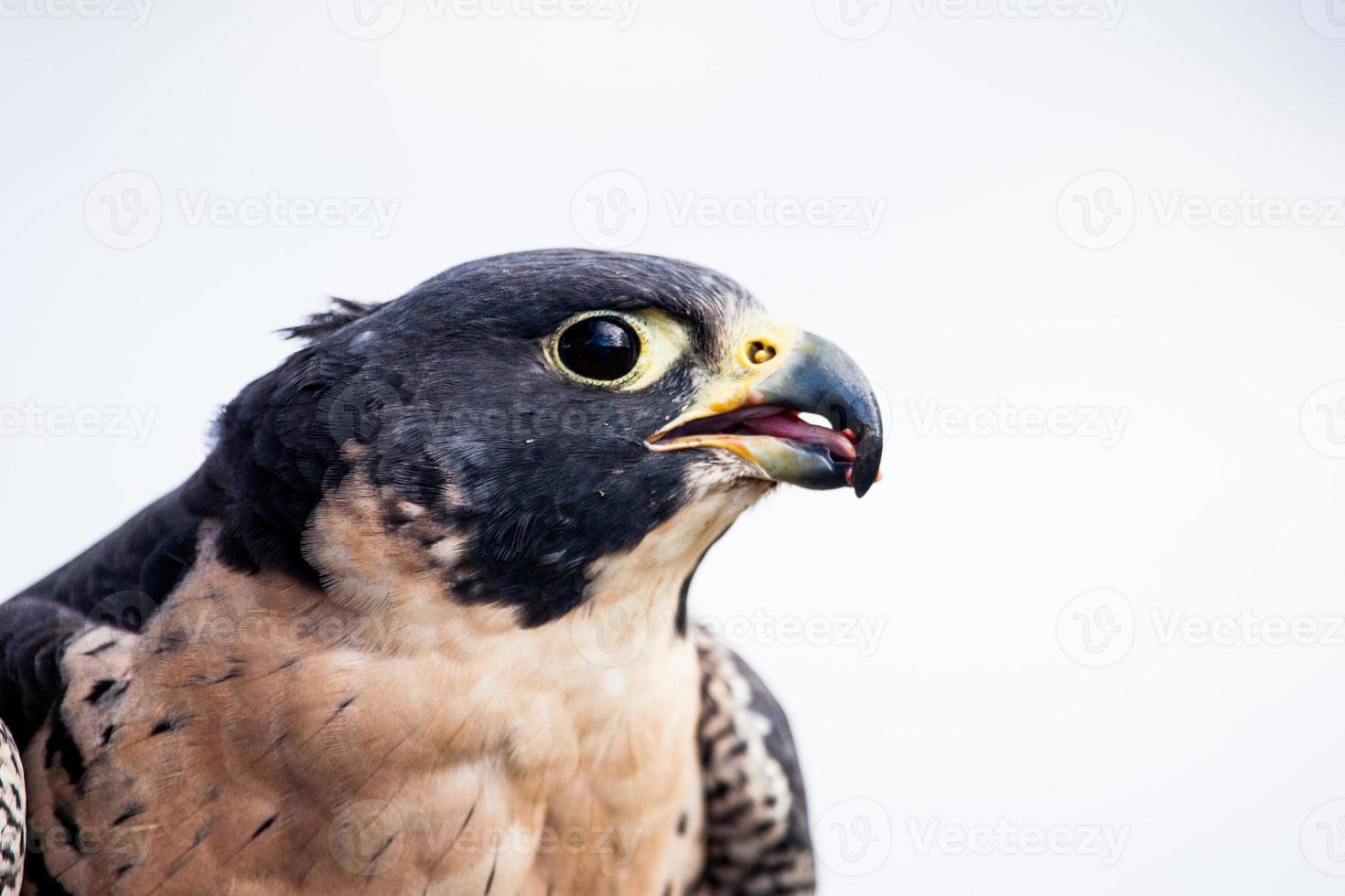 Falcão peregrino (falco peregrinus) comendo, alasca foto