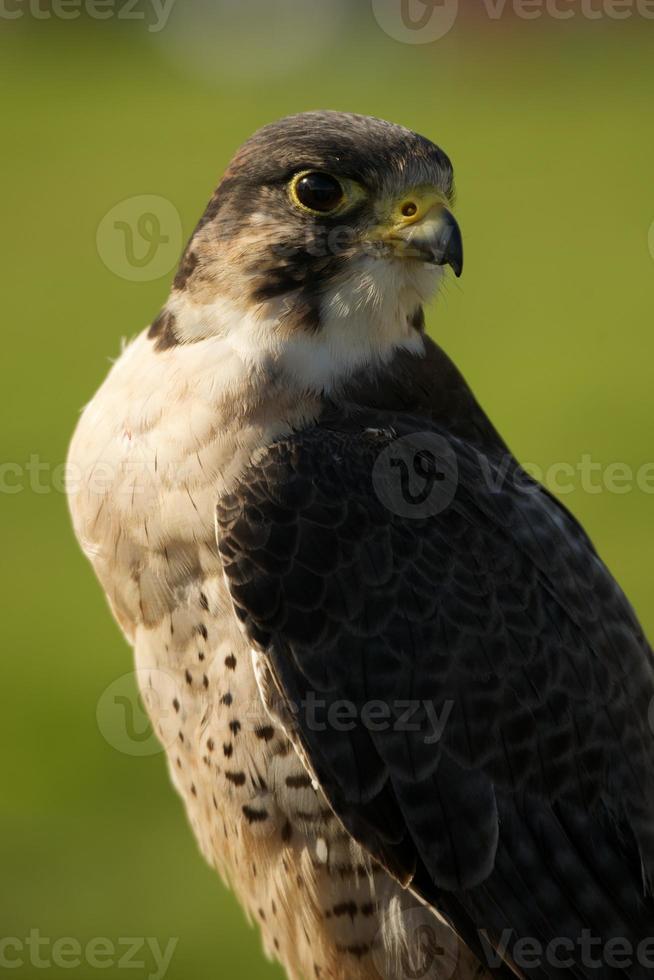 close-up de falcão peregrino com fundo gramado foto