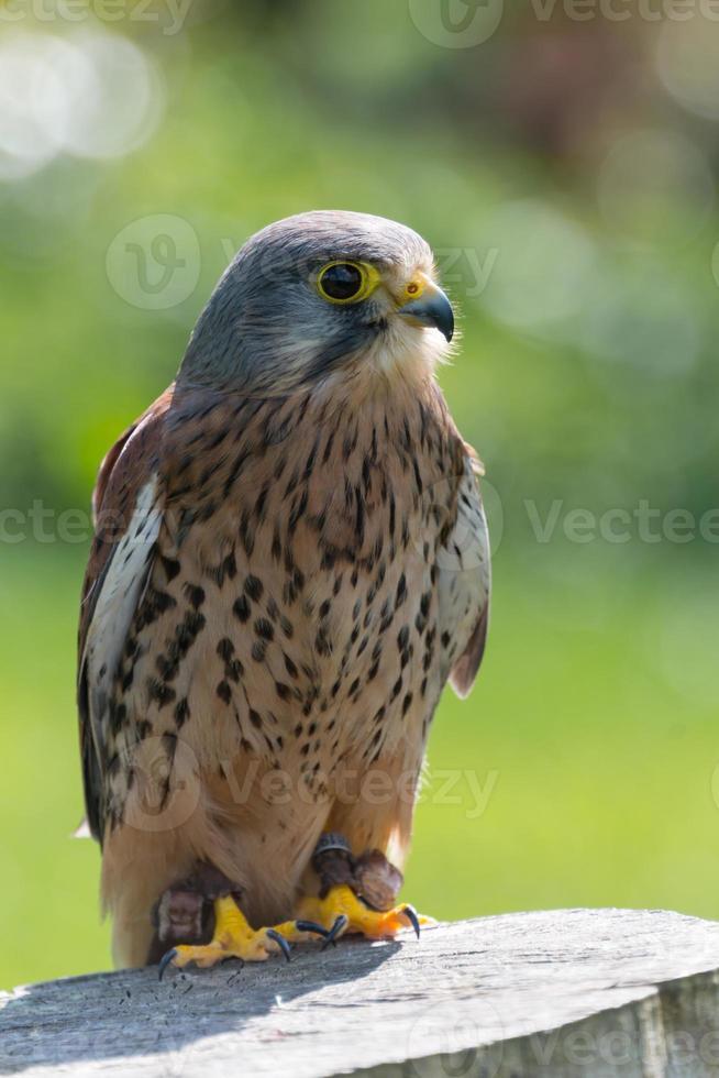 falcão, ave de rapina foto