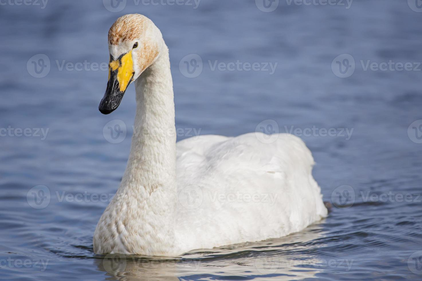 cisne-bravo, cygnus cygnus, nadar em um lago, close-up foto