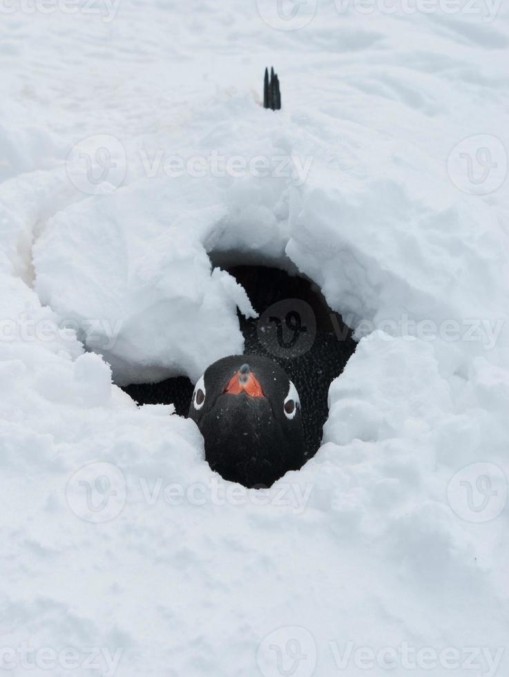 pinguim gentoo depois de uma tempestade de neve. foto