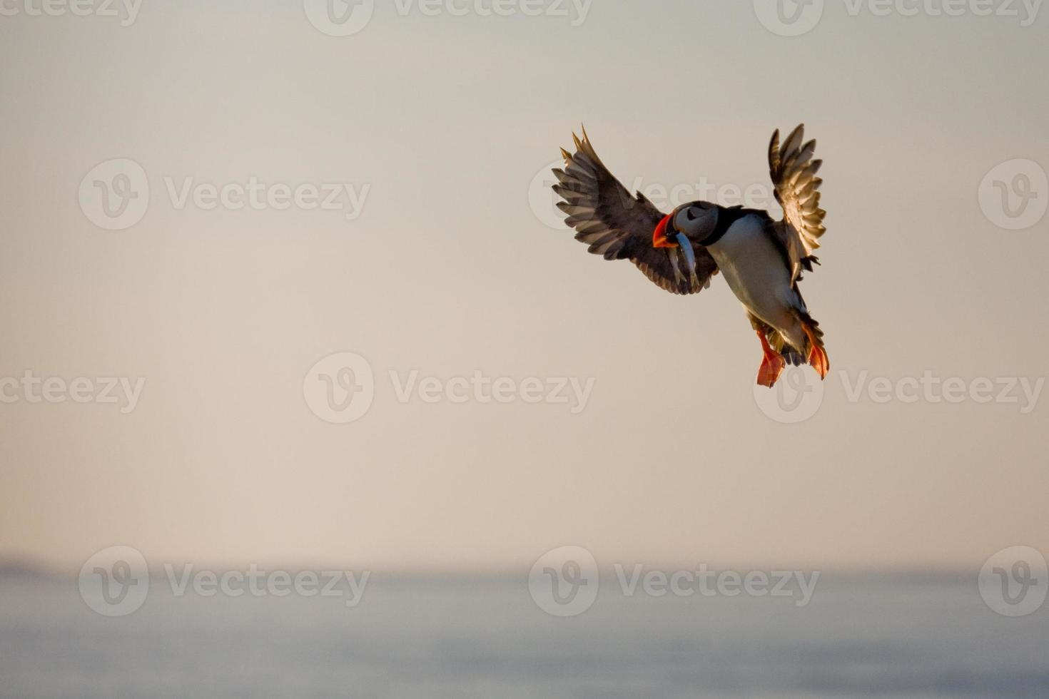 papagaio-do-mar com pôr do sol desembarque de peixes foto