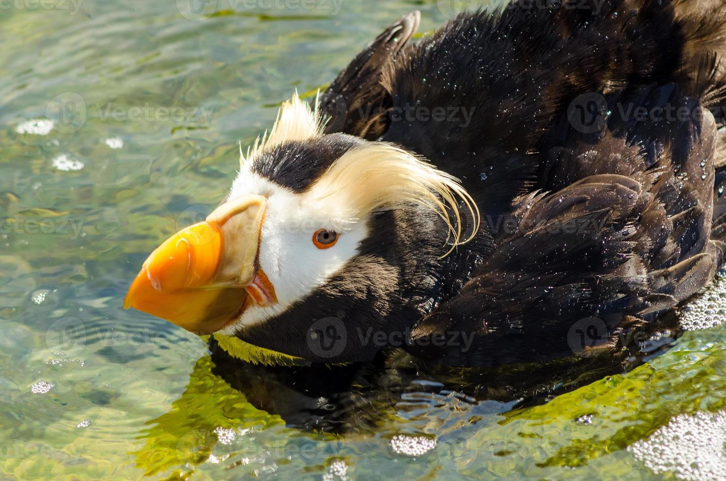 tufo de papagaio-do-mar closeup foto