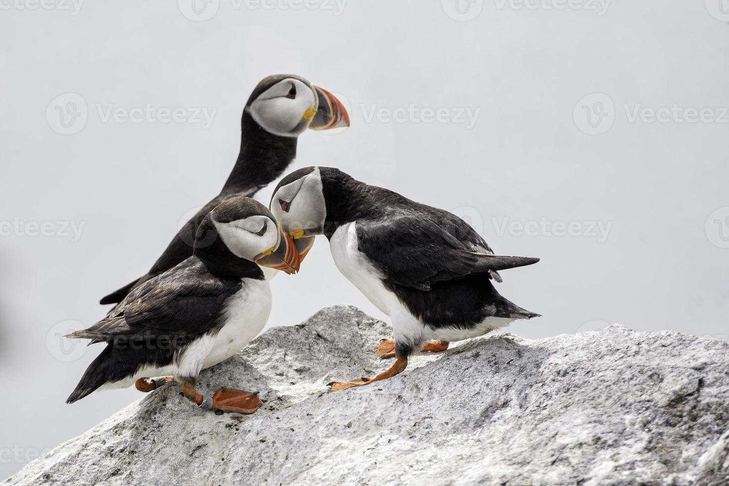papagaio-do-mar foto