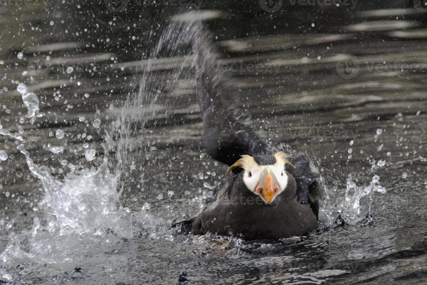 papagaio-do-mar adornado do Alasca foto