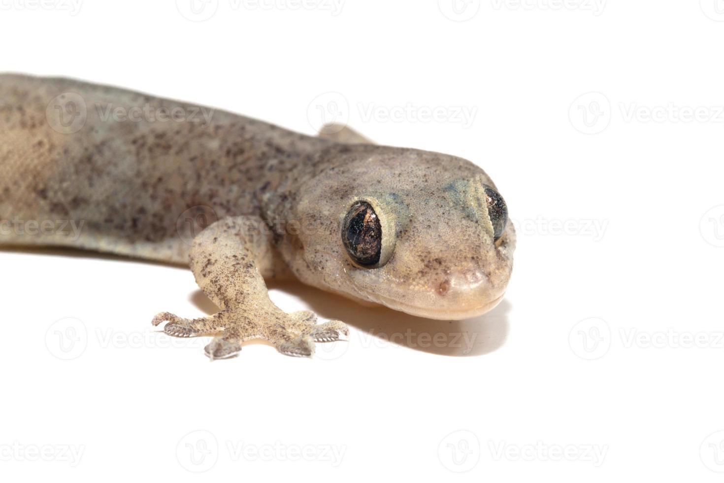 um pequeno lagarto de lagartixa foto