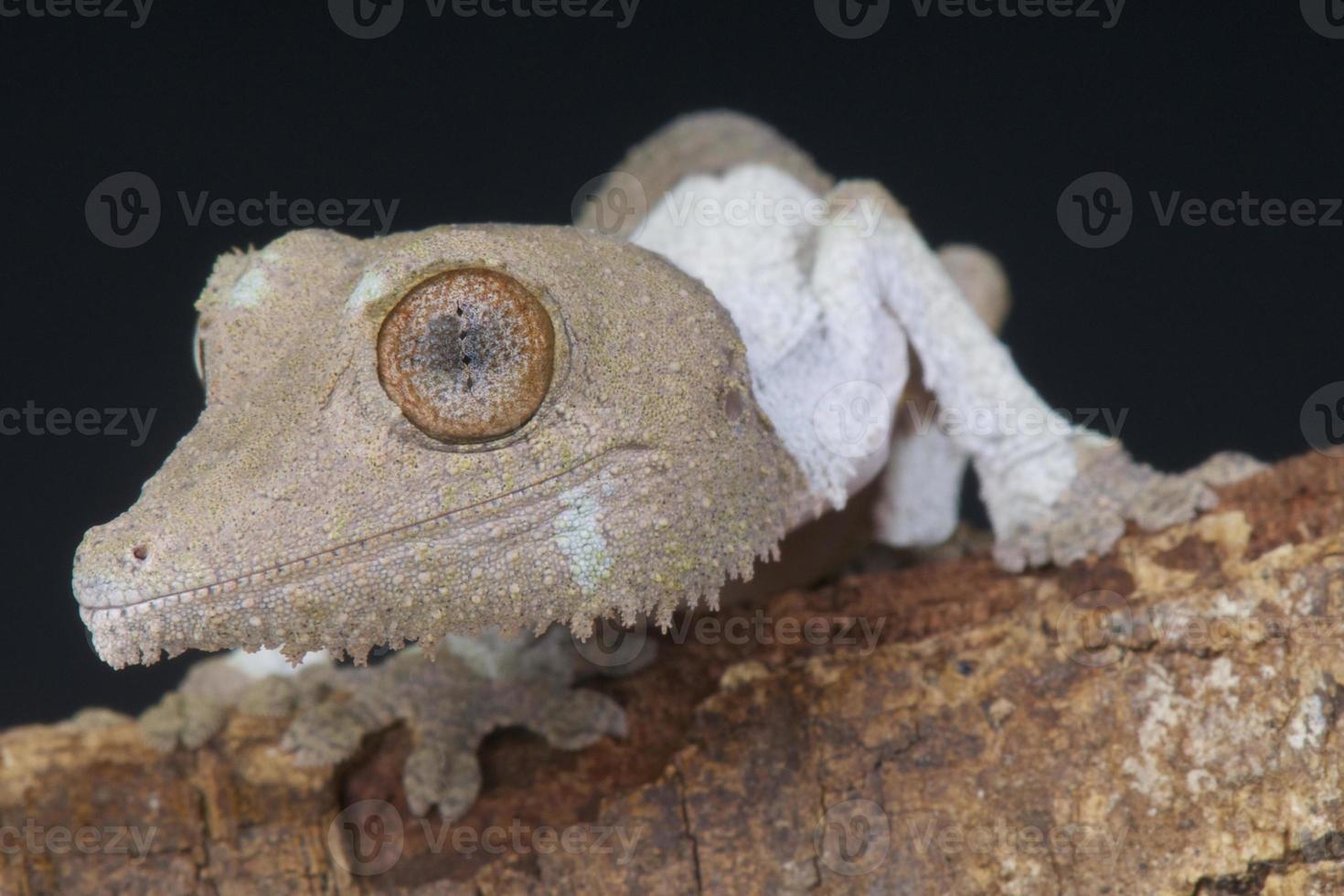 lagartixa-de-cauda-folha / uroplatus henkeli foto