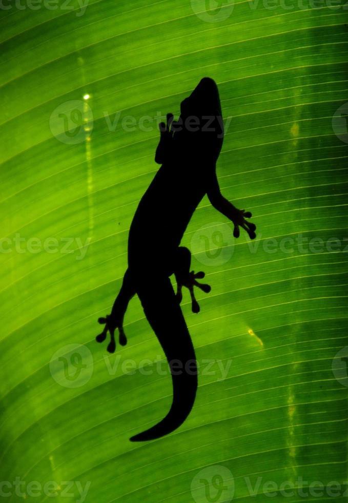 lagartixa retroiluminada foto