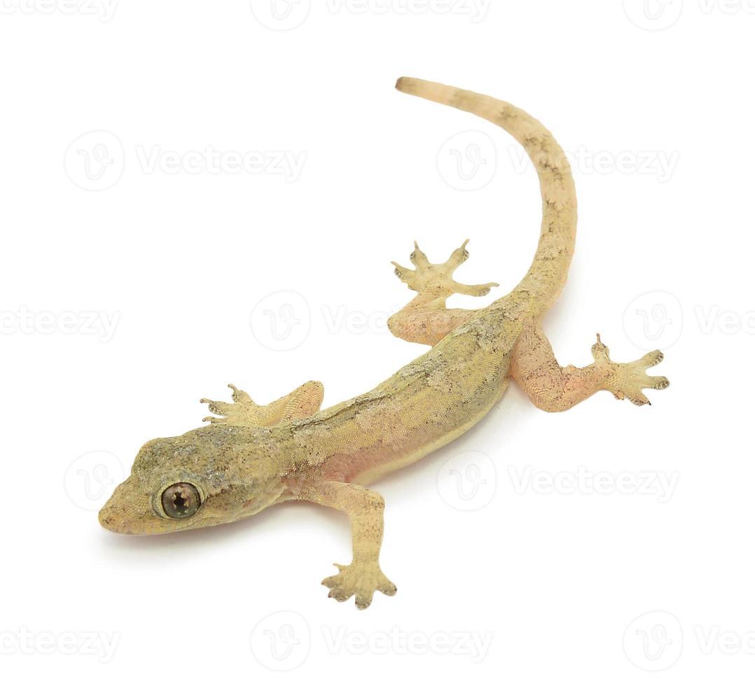 lagarto de casa - gekco isolado no fundo branco foto