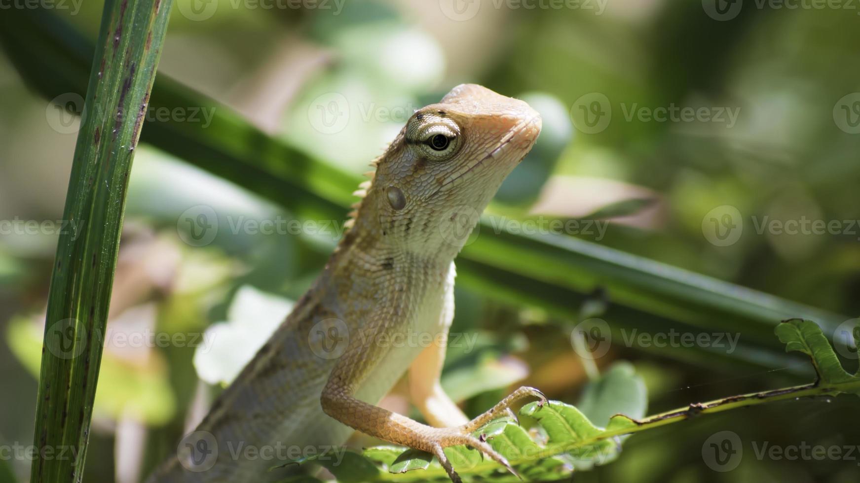 feche acima do lagarto de cara preta, foto
