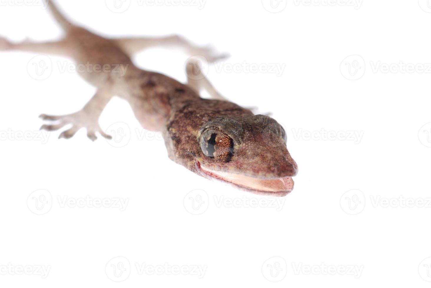 gecko bebê isolado foto