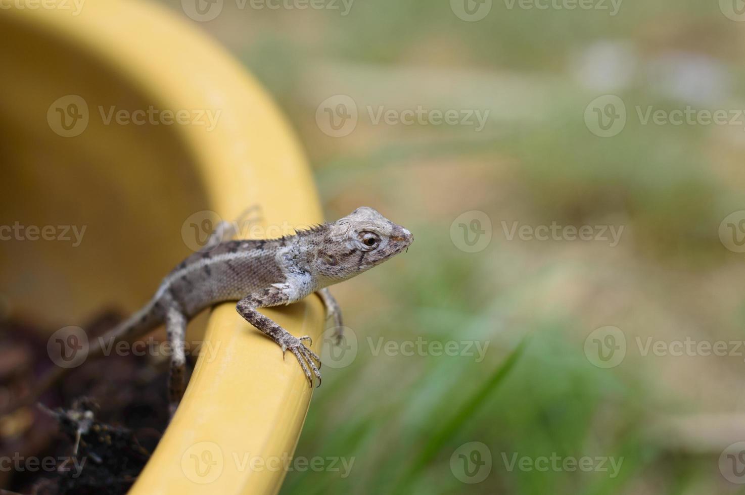 lagarto azul, lagarto marrom, lagarto asiático ou lagarto de árvore foto