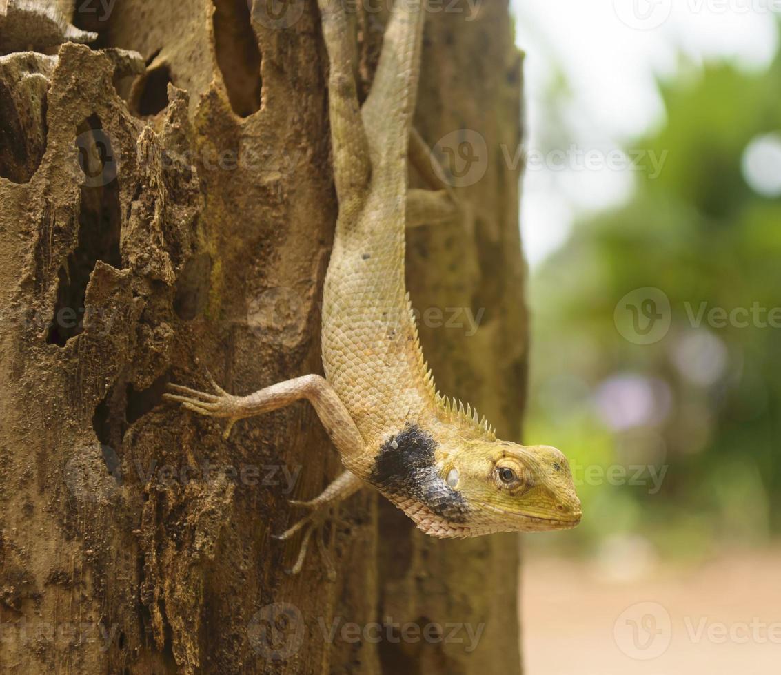 lagarto de pescoço preto foto