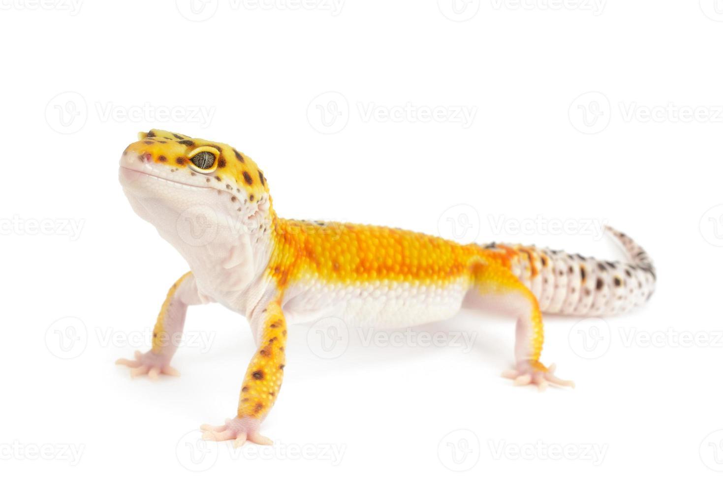 gecko leopardo banda ouro foto