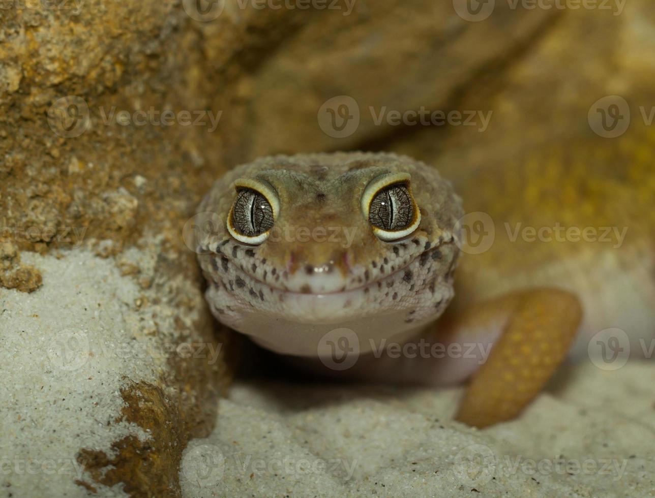 cara de lagartixa sorridente leopardo foto