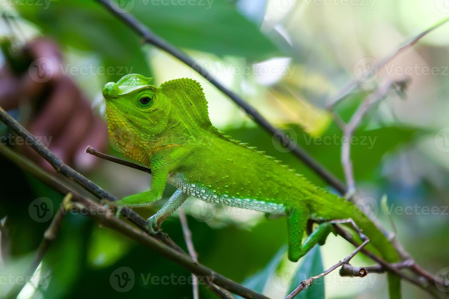 camaleão verde no galho de árvore na floresta de singharaja no srilanka foto