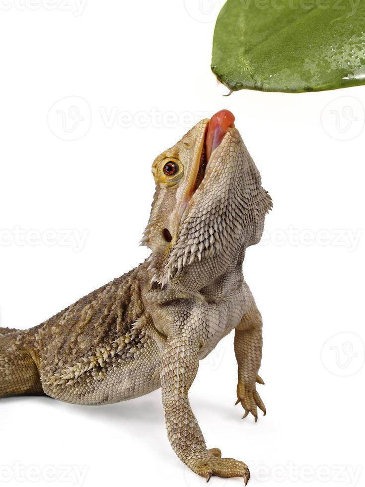 pogona réptil dragão barbudo lambendo a água de uma folha foto