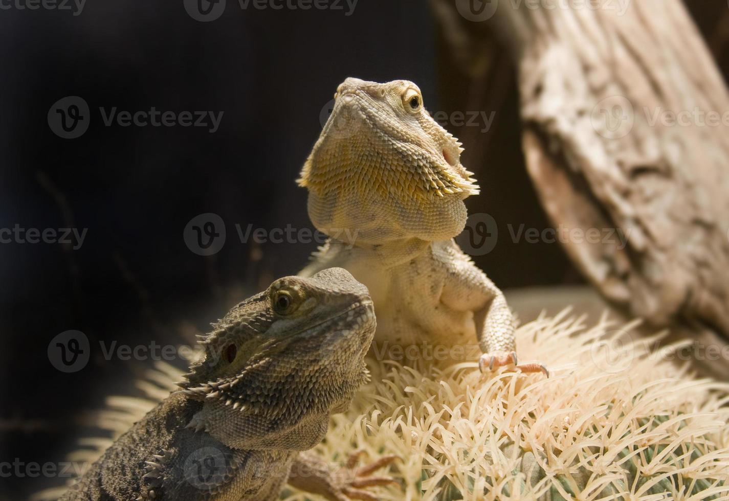 dois dragões barbudos foto