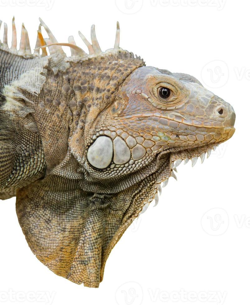 iguana isolada no branco foto