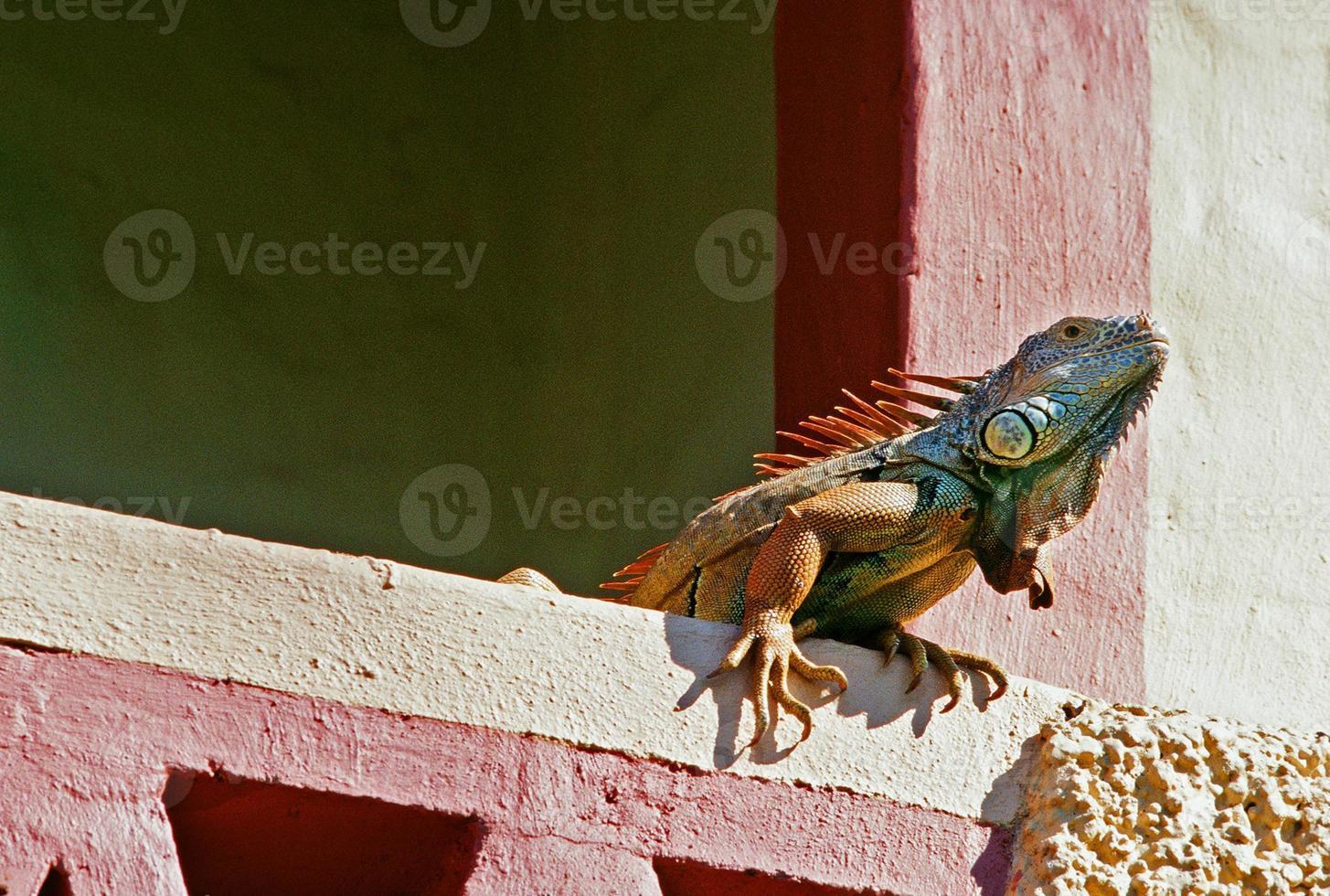 iguana na construção foto