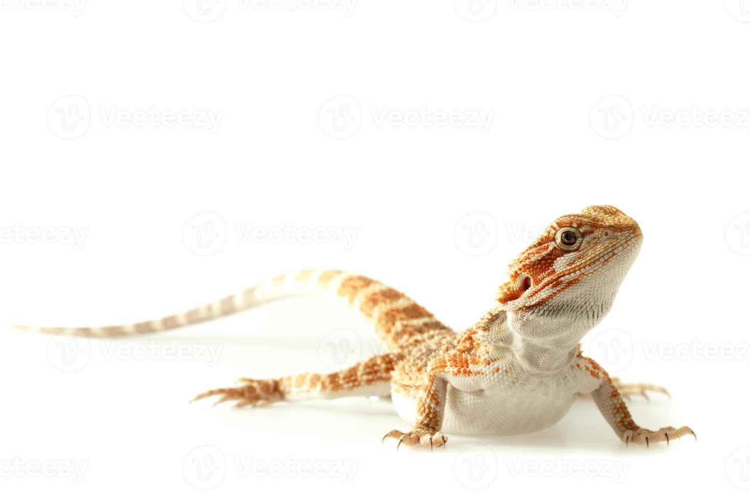 dragão barbudo lagarto isolado no branco foto