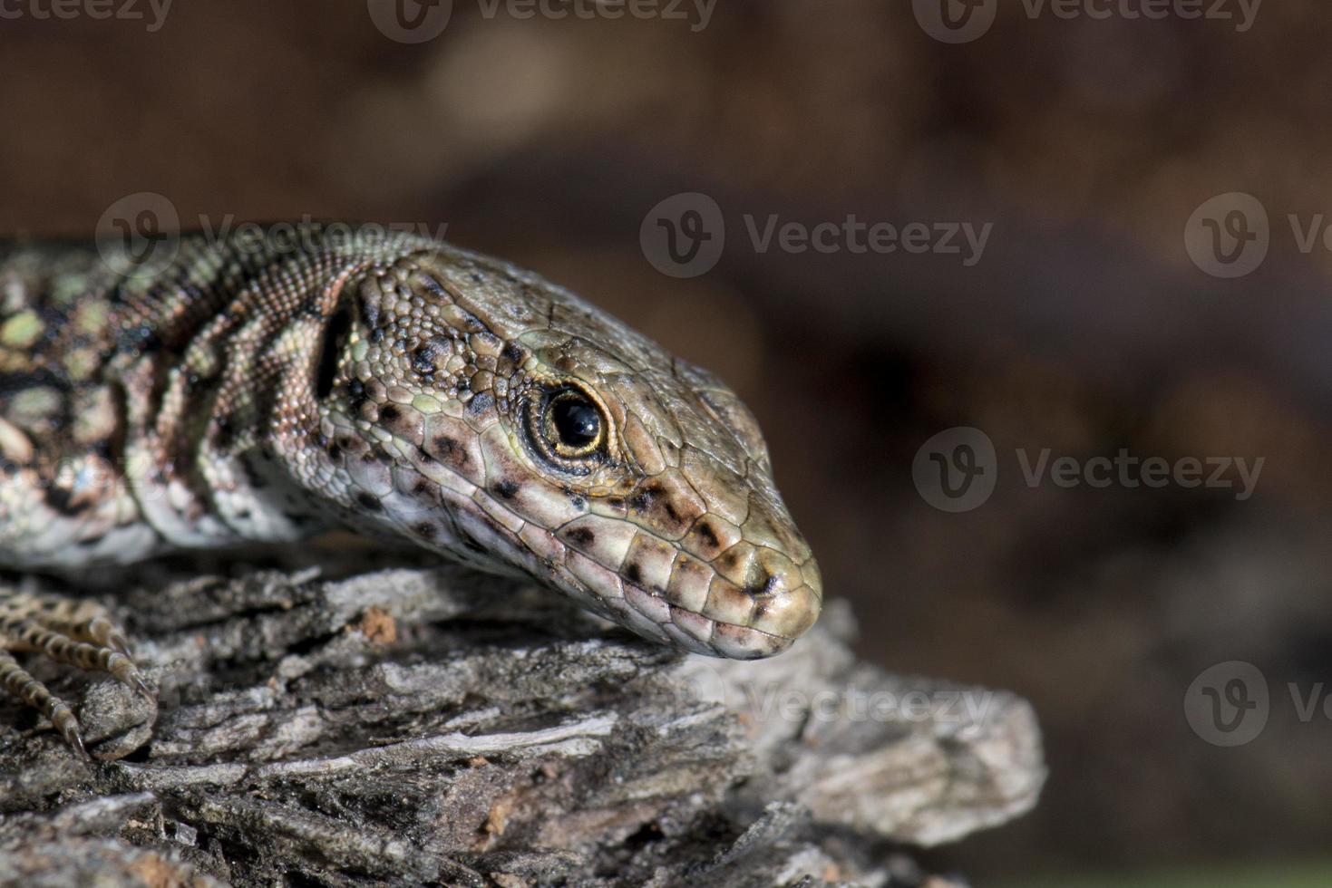 lagarto isolado, olhando para você macro foto