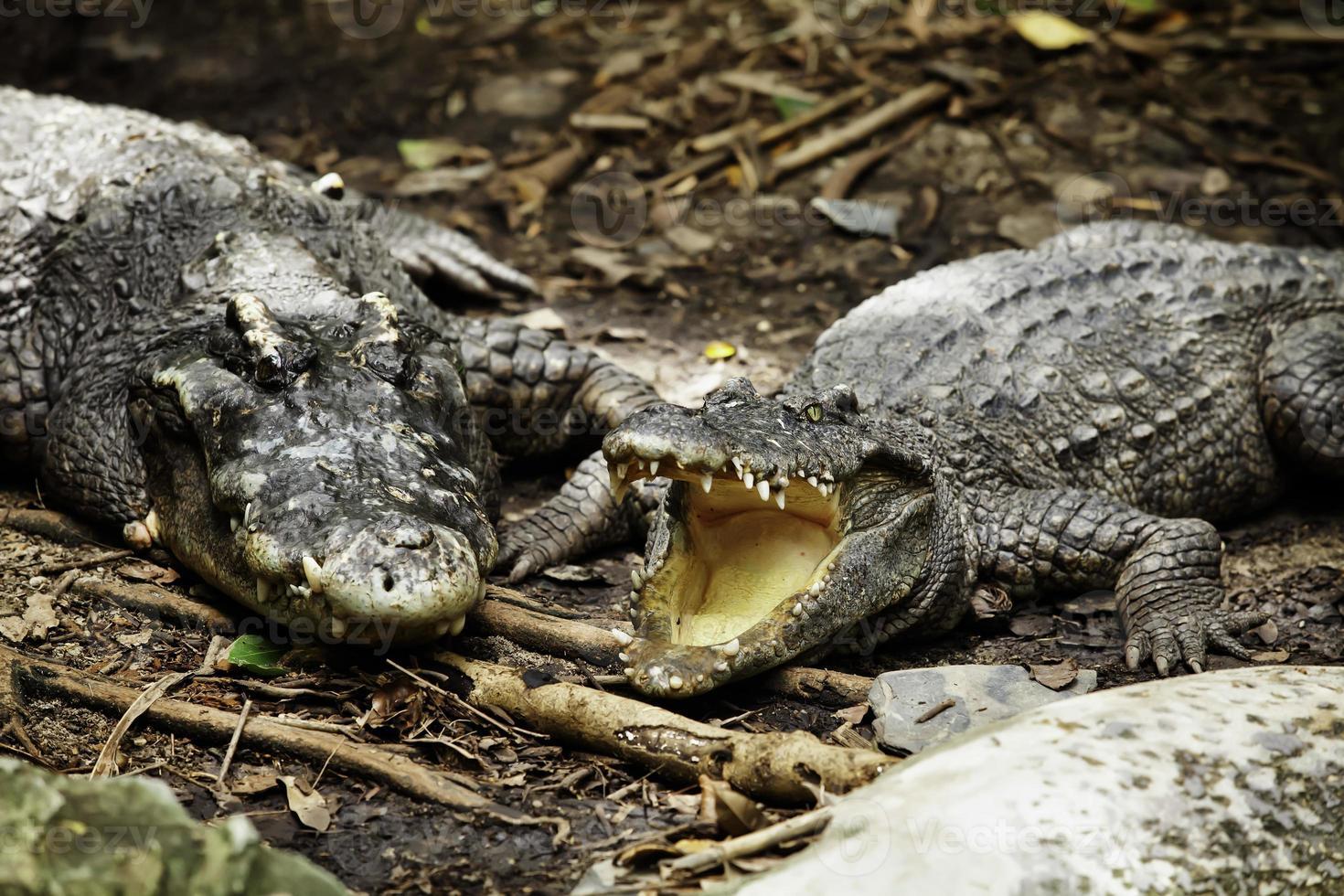 crocodilo foto