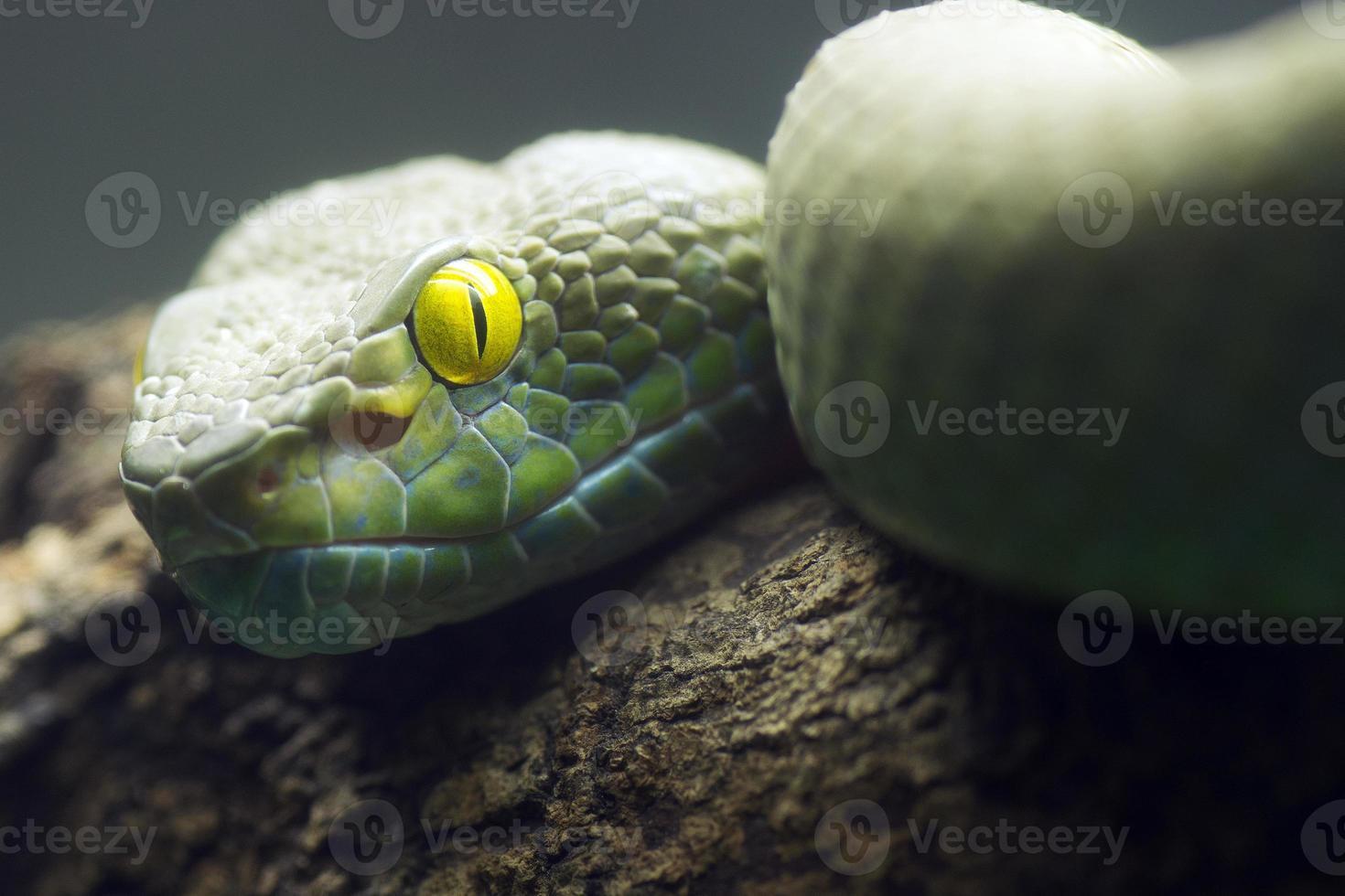olhos grandes pit viper foto