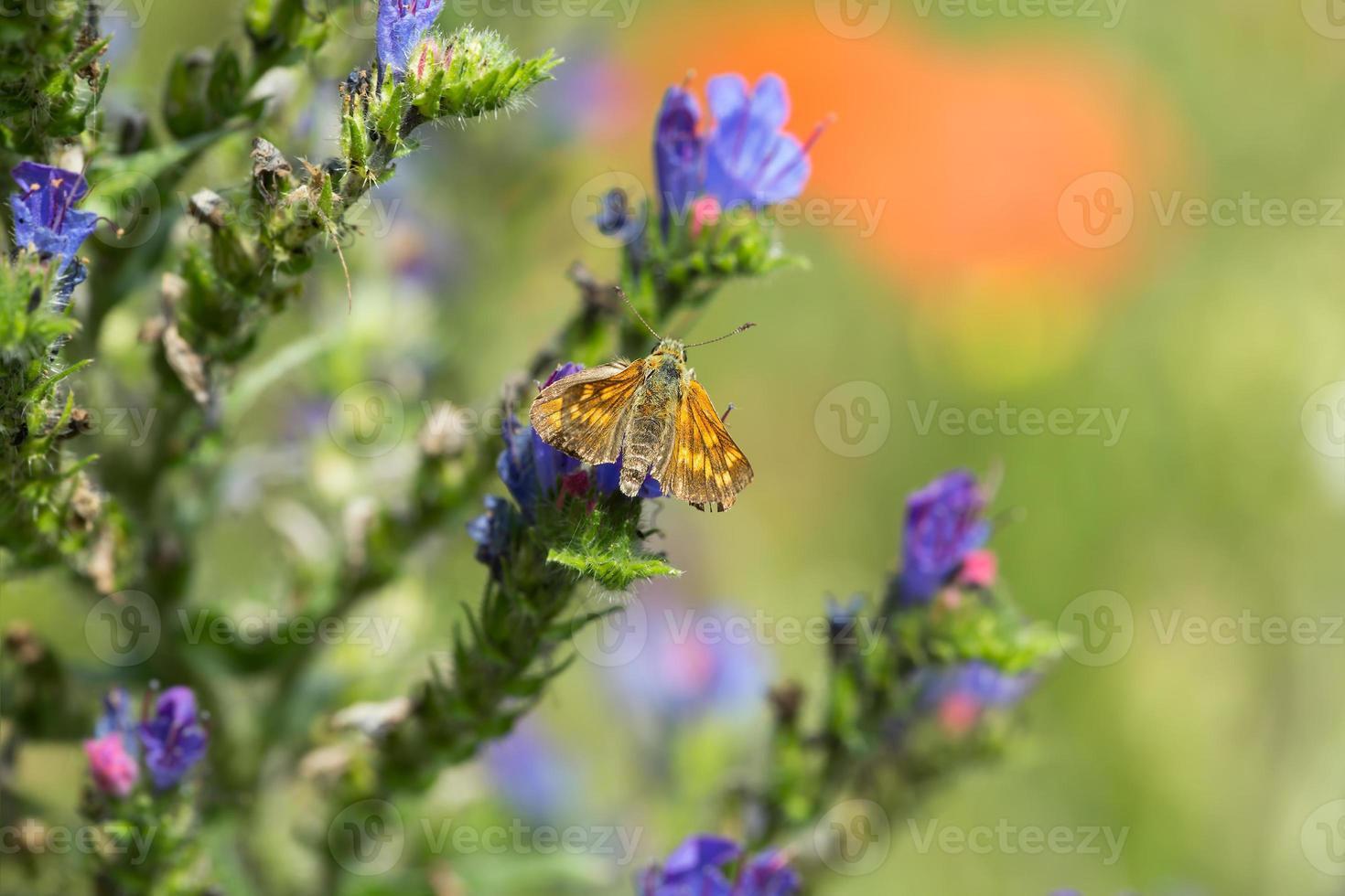borboleta skipper, hesperiidae em blueweed foto