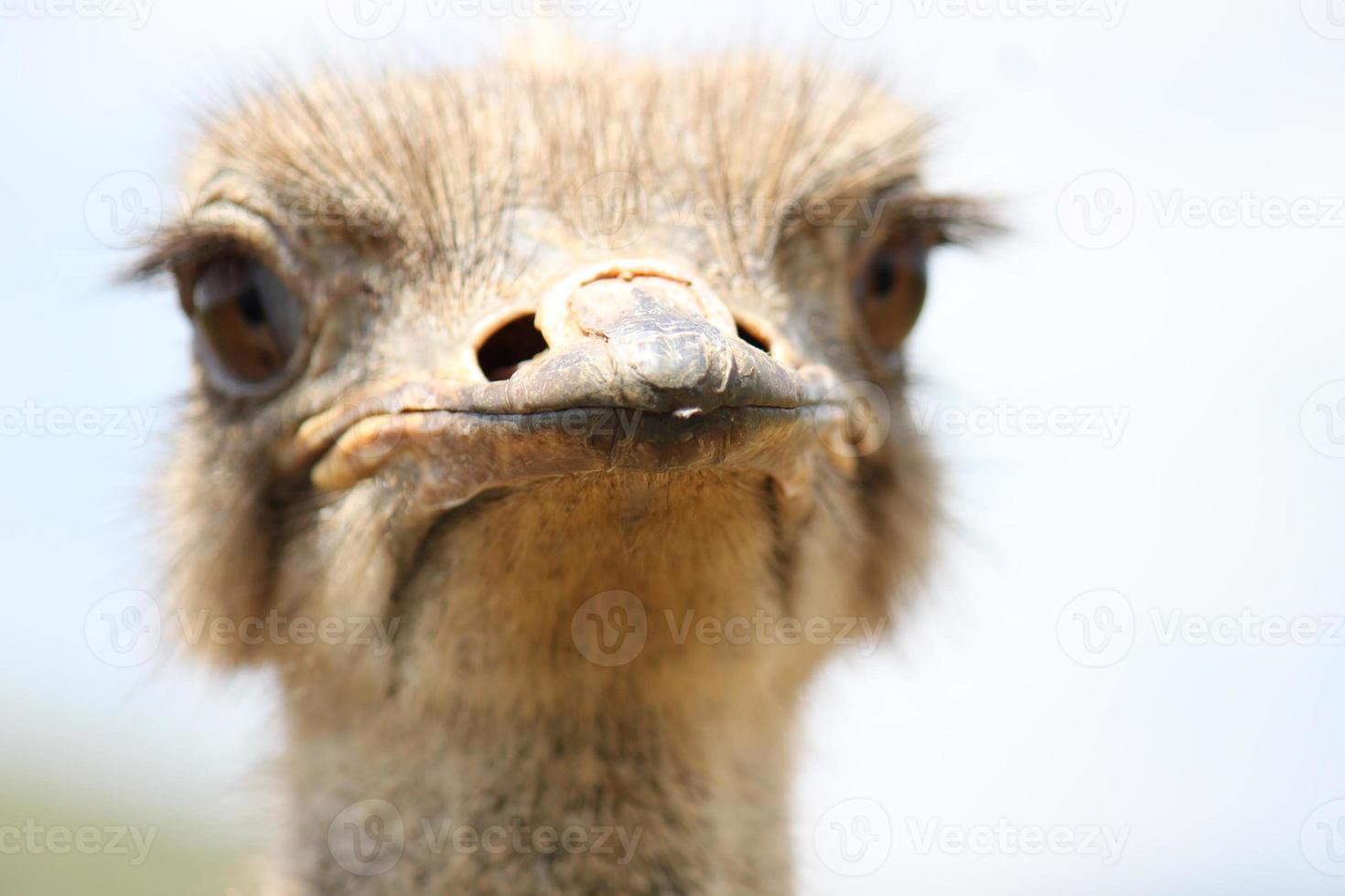 tiro na cabeça close-up de um avestruz foto