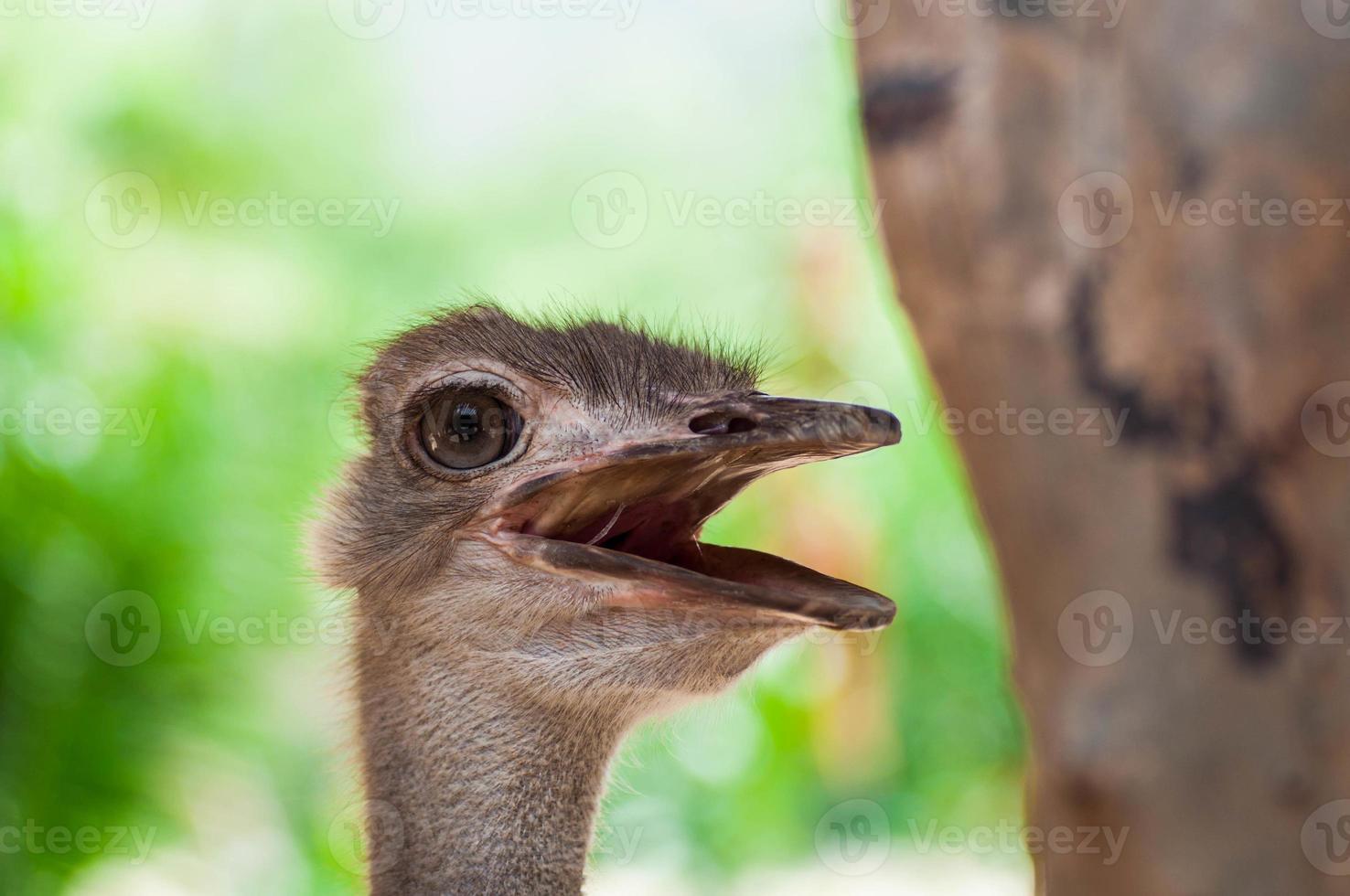 close-up de avestruz foto