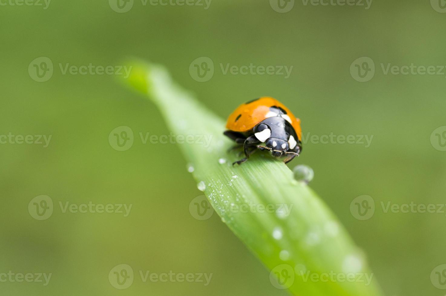 joaninha, em uma folha de grama com orvalho da manhã foto