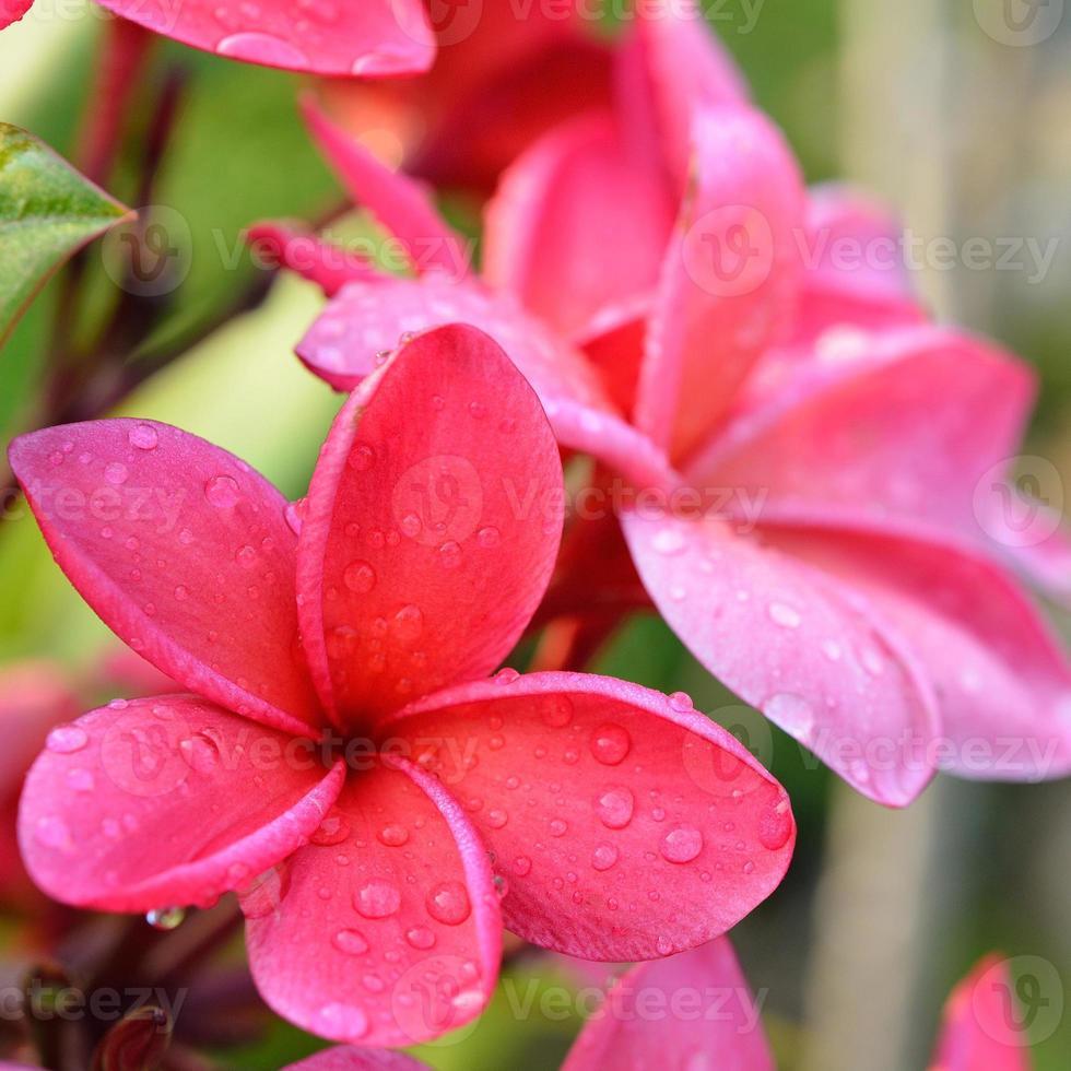 flores tropicais frangipani, flores de plumeria frescas foto