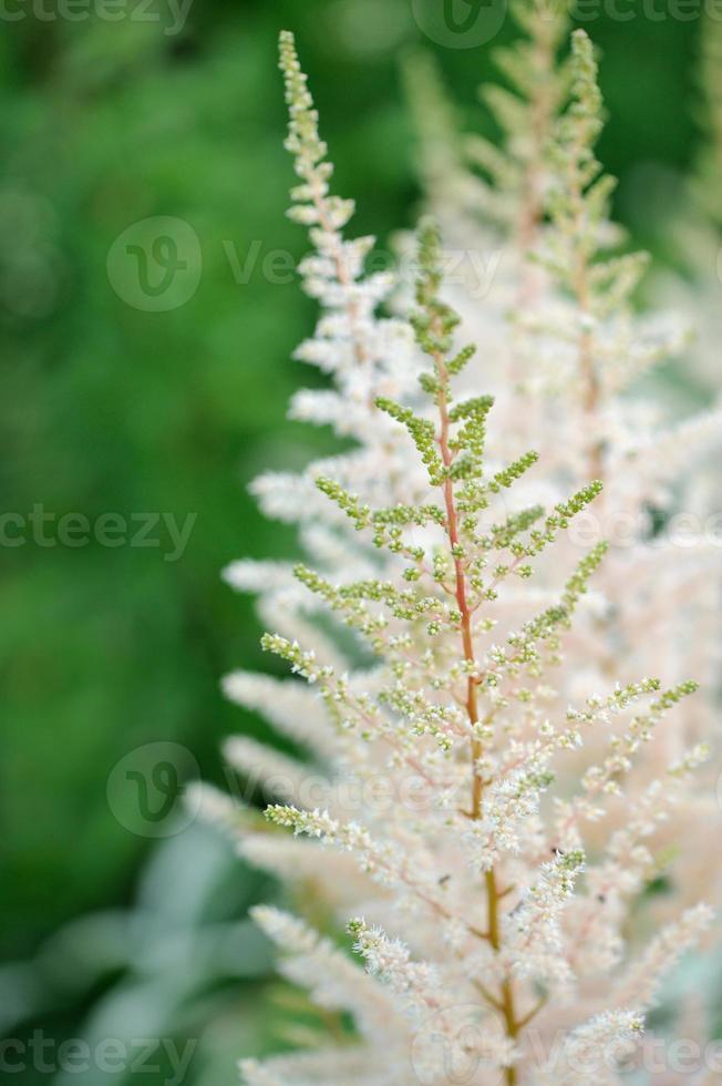 flores de astilbe branco no canteiro foto