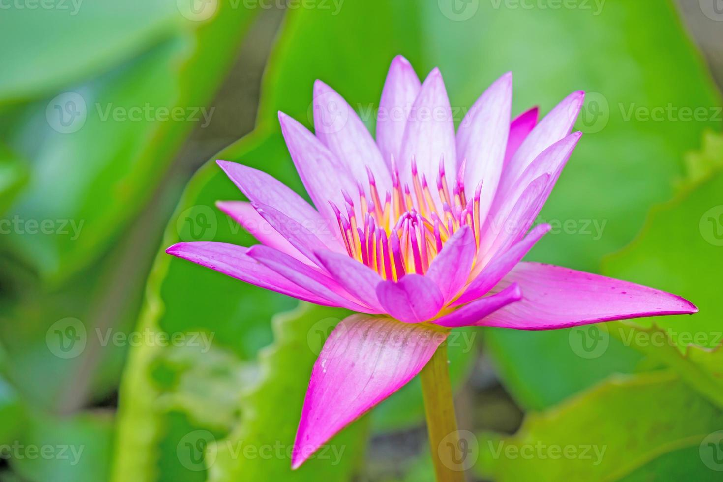 flor de lótus e plantas de flores de lótus foto