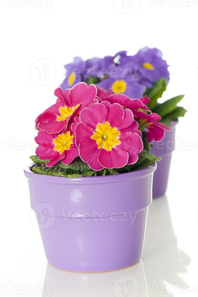 prímula rosa em vaso de flores foto