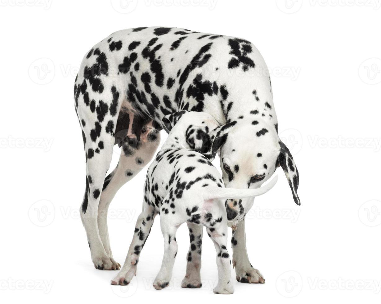 dálmata adulto e cachorro cheirando um ao outro, isolado foto